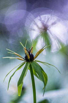 Herb-paris sur Douwe Schut