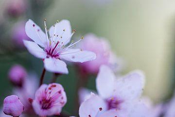Roze bloesem in de lente van Jaike Reinders