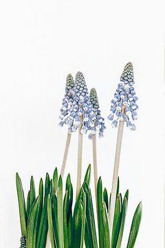 blauwe hyacinten van Michael Schulz-Dostal