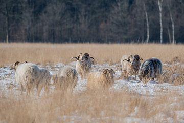Drentse heide schapen van Jeannette Braamskamp