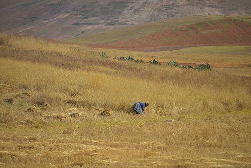 Peruaanse vrouw snijdt koren af in graanveld Peru