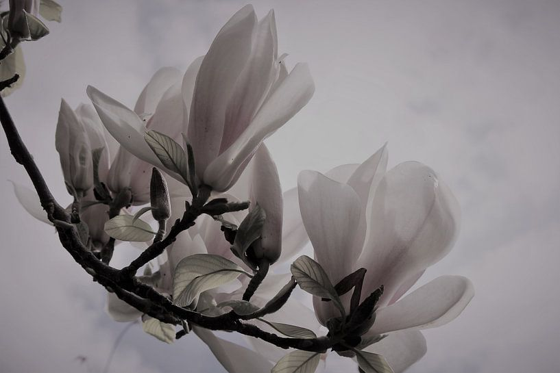 Gros plan sur le magnolia sur Loretta's Art