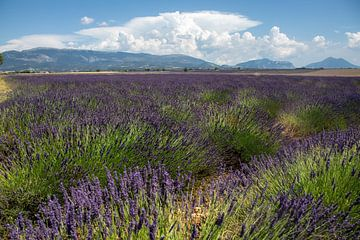 Lavendel van Wilhelmien  Marti