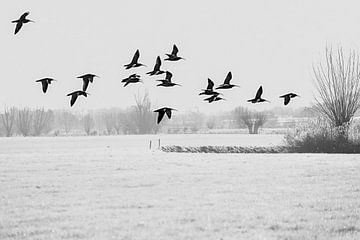 Een groep wulpen vliegt boven het bevroren weiland von Fotografie Jeronimo