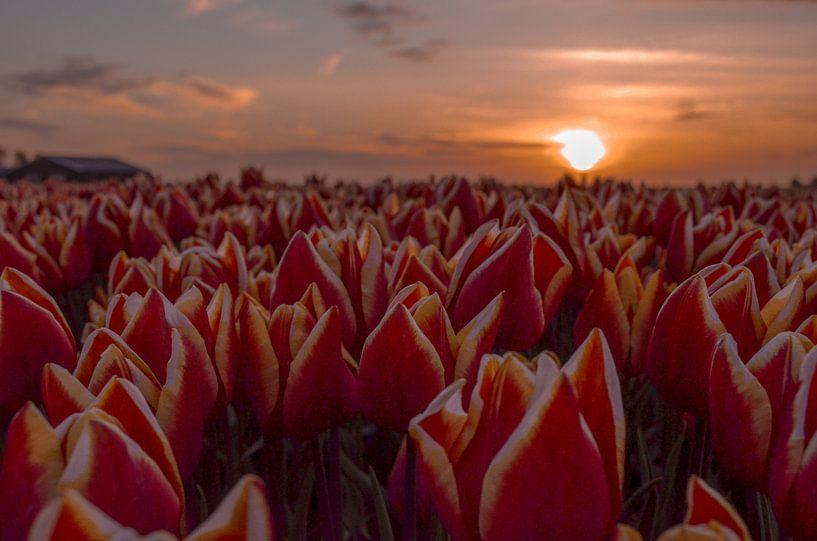Tulpen met zonsondergang van Branca  Verheul