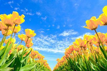 Blühende Tulpen auf einem Feld an einem schönen Frühlingstag von Sjoerd van der Wal