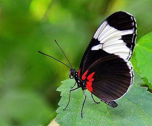 Vlinder de Heliconius Cydno.