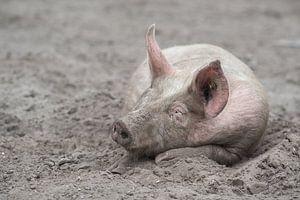 Varken slapend in het zand / Free range pig sleeping in the mud