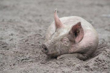 Schwein, das im Sand schläft von Elles Rijsdijk