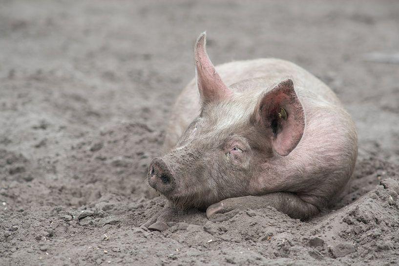 Varken slapend in het zand / Free range pig sleeping in the mud van Elles Rijsdijk