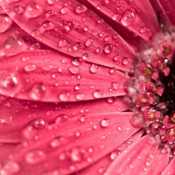 Waterdruppels op gerbera bloem van Lorena Cirstea