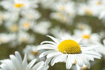 Das Gänseblümchen, ein Symbol für Jungfräulichkeit von