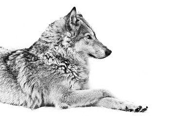 Zij-wolf poot aan poot zwart-witte achtergrond in profiel mooi van Michael Semenov