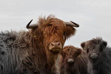 Schotse hooglanders nieuwsgierig 2 kleurig van Sascha van Dam