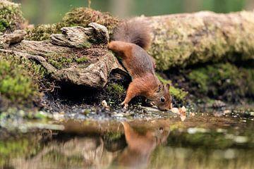 Trinkendes Eichhörnchen von Fronika Westenbroek