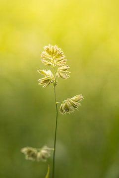 Bloeiend gras | zomerdag | zonsondergang van Marianne Twijnstra-Gerrits