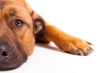 Rustende hond van Wim Demortier
