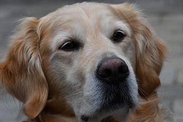 10 Jaar oude Golden Labrador Retriever portret van J..M de Jong-Jansen