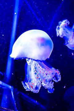 kwal / meduse / jellyfish van melissa demeunier