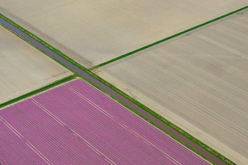 Tulpenveld in de polder in het voorjaar