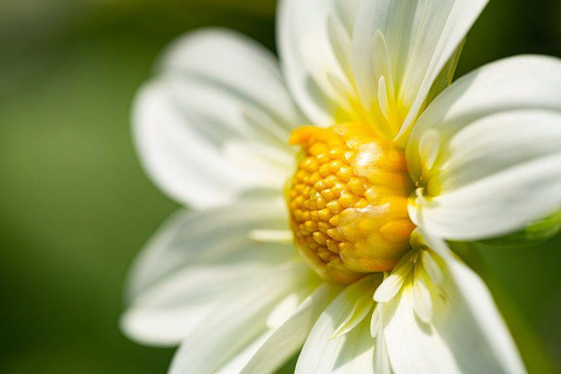 Fleur blanche jaune sur Anneke Hooijer