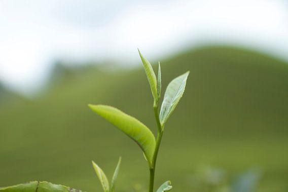 Thee plant van Jelle  Beuzekom