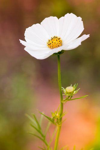 Witte cosmea (Cosmos bipinnatus)