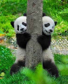 Twee schattige pandaberen (reuzenpanda of giant panda bear ) van Chihong
