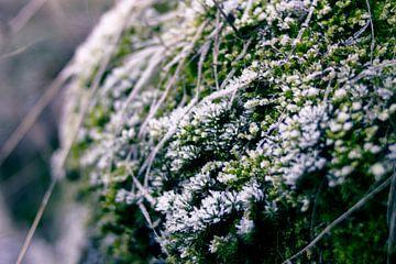Wintermoos von Milou VDB