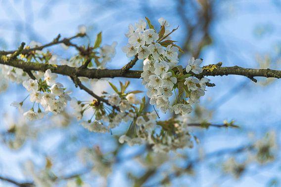 Kersen Bloesem / Cherry Blossem van Coby Zwartbol