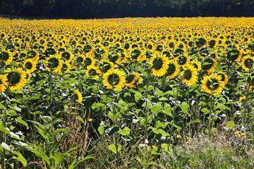 Veld van zonnebloemen von Daan Ruijter