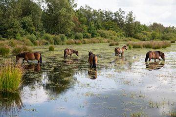 eine gruppe brauner pferde in einem moor in den fochteloerveen in drenthe