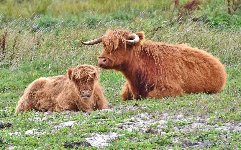 Schotse Hooglanders van Carla Eekels