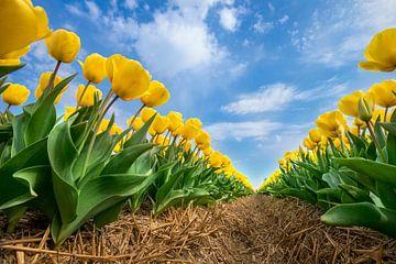 Gele tulpen met blauwe lucht van robertjan boonstra