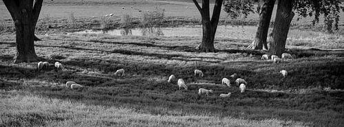 schapen in de schaduw van grote bomen