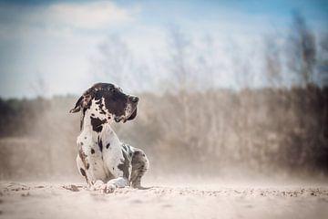 Deutsche Dogge im Sand von Lotte van Alderen