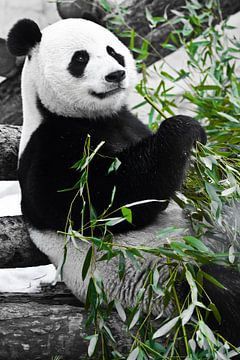 Panda zit languit met een grote bamboetak in zijn poten. van Michael Semenov