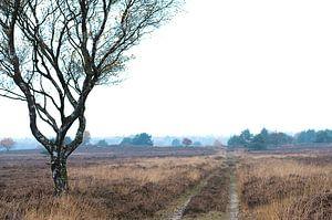boom Veluwe  van