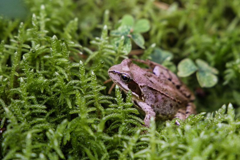 Forest frog van Erich Werner