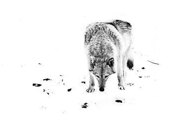 minimalistischer Wolf. Wolfsweibchen im Schnee, schönes starkes Tier im Winter. schwarz-weiß von Michael Semenov