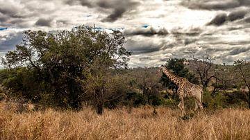 """Giraffe """"Aan de Wandel"""" van Rob Smit"""