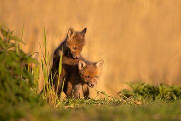 Jonge vosjes samen aan het spelen van Aukje Ploeg