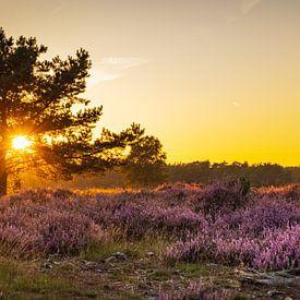 Panorama bloeiende heide tijdens zonsondergang van Hilda Weges