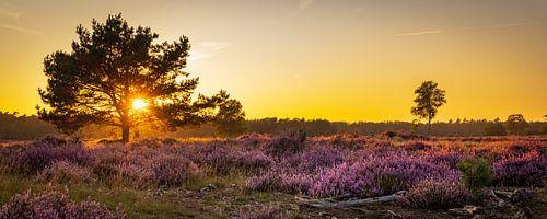 Panorama bloeiende heide tijdens zonsondergang