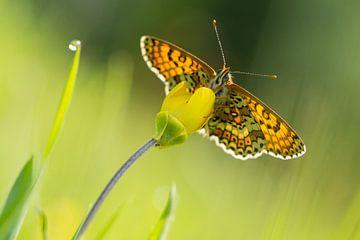 veldparelmoervlinder frontaal en met tegenlicht van Francois Debets