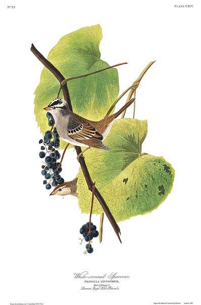 Witkruingors van Birds of America