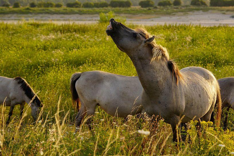 Konikpaarden in de Ooijpolder van Alice Berkien-van Mil