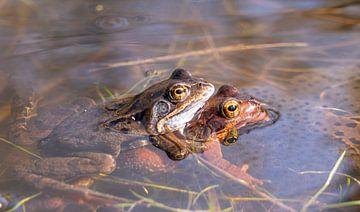 Paarung grüner und roter Frosch im Wasser der Oostvaardersplassen von John Ozguc