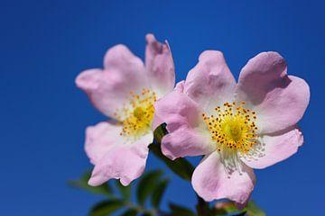 Wilde Rosen vor blauem Himmel von Ulrike Leone