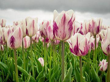 champ de tulipes blanches violettes sur